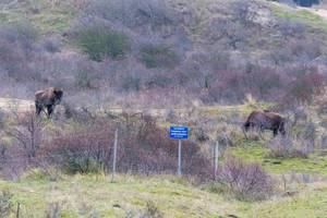 Zwei Wisente stehen zwischen Büschen in Zuid Kennemerland National Park, Niederlande