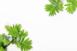 Zweige mit grünen Blättern auf weißem Hintergrund