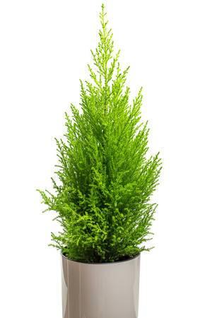 Zypresse in einem Topf: Pflanze für Zuhause vor weißem Hintergrund